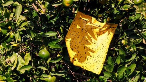 praga nos limoeiros