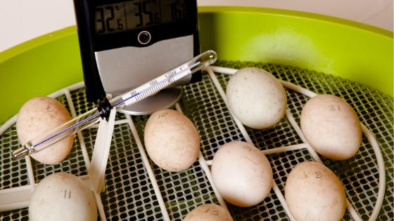 como chocar ovos de galinha