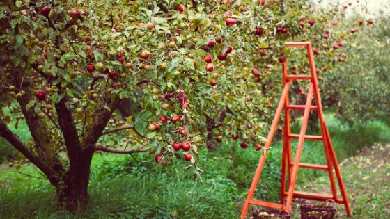 quando podar macieiras