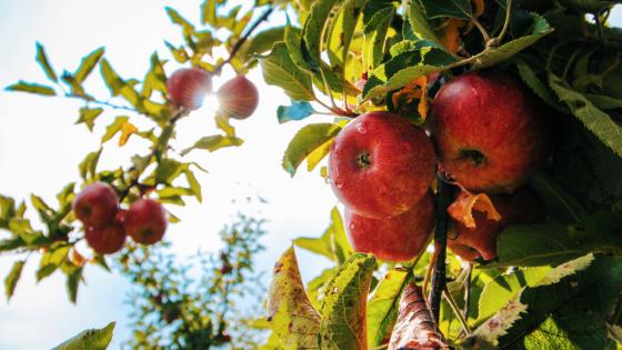 como podar macieiras