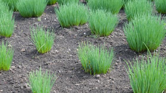 como cultivar cebolinho