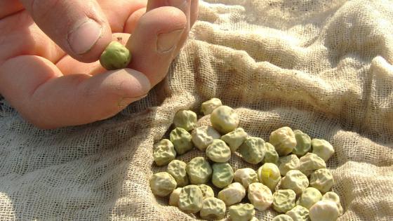 semear ervilhas