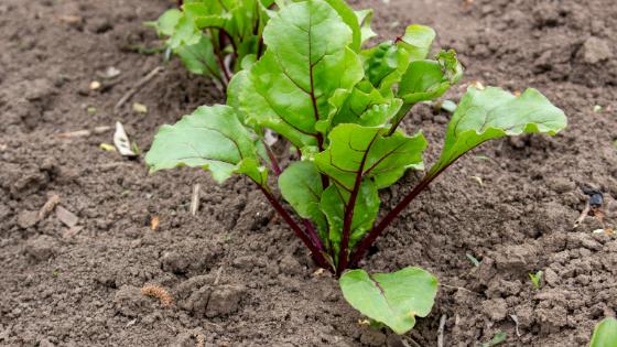 como cultivar beterraba