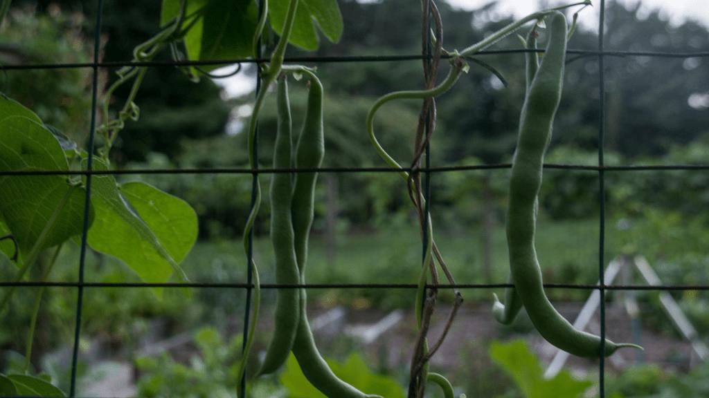 como cultivar feijao verde
