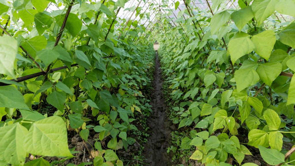 como cultivar feijao verde em estufa