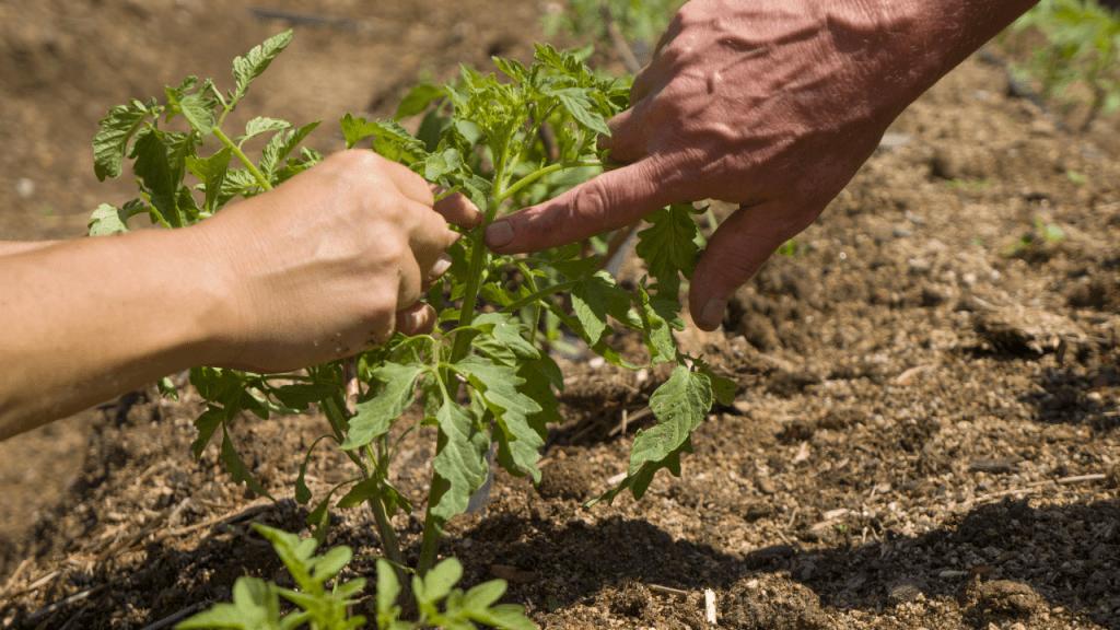 como cuidar dos tomateiros