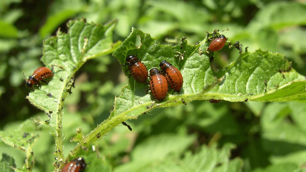 escaravelho da batata prejuízos