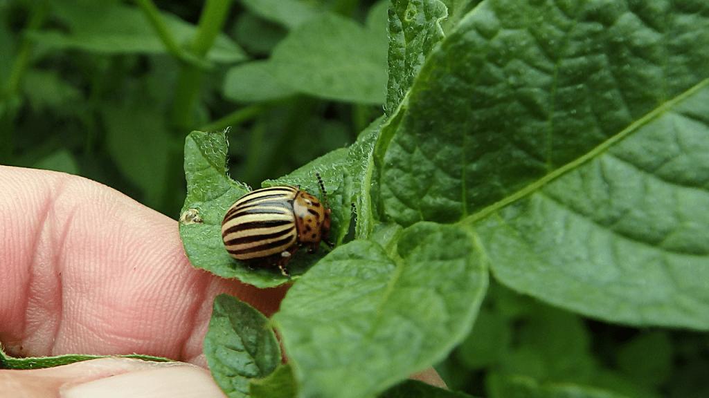 escaravelho da batata como tratar