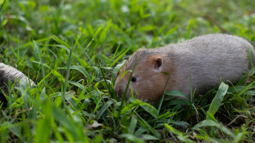 como afastar ratos da horta