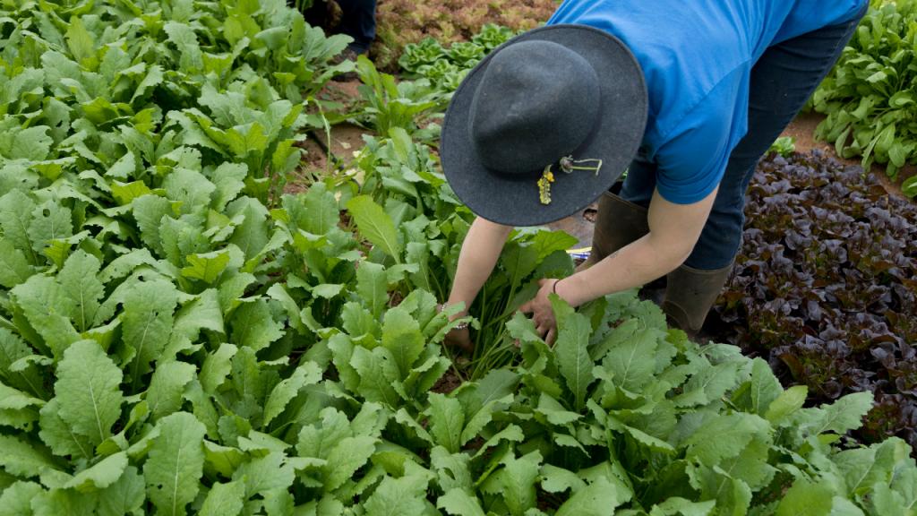 cultivar grelos